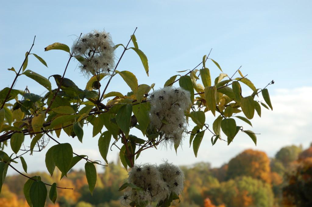 Pustesamen im Herbst